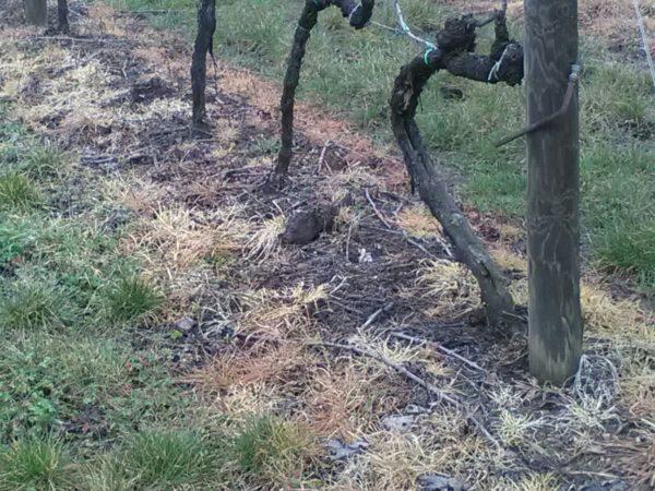 Ancora diserbante nelle vigne del Chianti